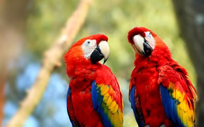 Scarlet macaw, bokeh, parrots, close-up, red parrots, Ara macao, macaw