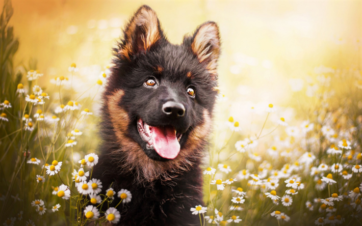 little shepherd, black fluffy puppy, german shepherd, small dogs, pets, dogs