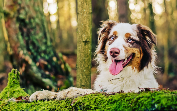 Aussie, HDR, close-up, Australian Shepherd, forest, pets, dogs, cute animals, bokeh, Australian Shepherd Dog, Aussie Dog