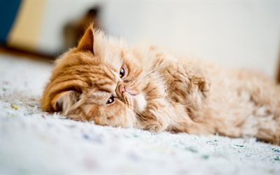 Download Wallpapers Persian Cat Lazy Cat Cute Animals
