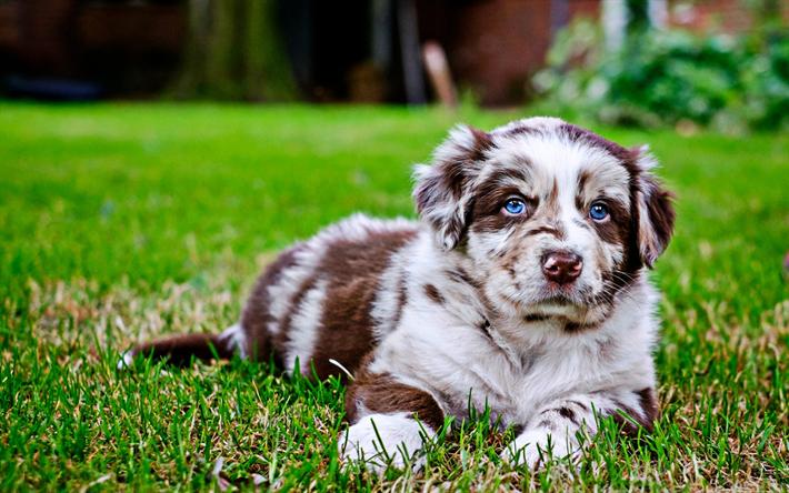 Download wallpapers Australian Shepherd, puppy with blue