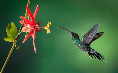 Hummingbird, Little Bird, Flowers, Beautiful Birds, Rainforest, Red Flower