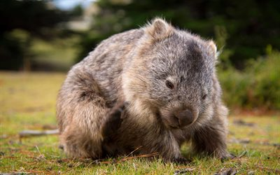 Wombat, Australia, cute animals, small Wombat, flora and fauna of Australia