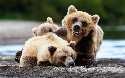 Bears, predators, Kamchatka, river, bear cub, Russia