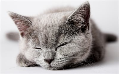 British shorthair сat, sleep, muzzle, close-up, cute animals, cats