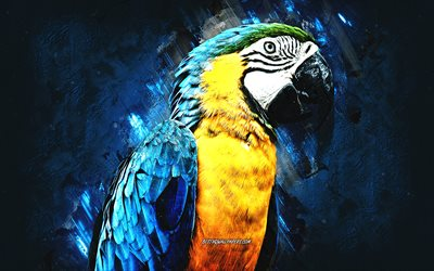 Blue and yellow Macaw, beautiful parrot, macaw, blue yellow parrot, Blue and gold Macaw, parrots, blue stone background, grunge art