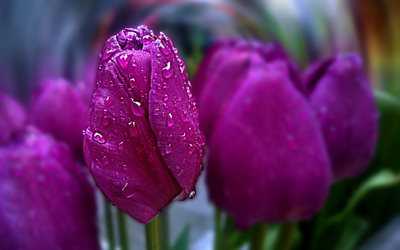 4k, violet tulips, dew, spring, violet flowers, bokeh, spring flowers, macro, tulips, Happy womens day, beautiful flowers