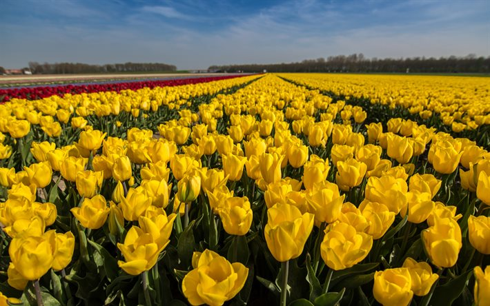 Download Wallpapers Yellow Tulips Spring Flowers Yellow Wildflowers Tulips Spring Field With Yellow Flowers Netherlands For Desktop Free Pictures For Desktop Free