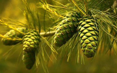 green cones, forest, tree, cones, green trees, environment, background with cones