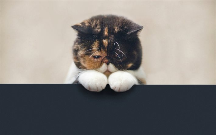 Download Wallpapers Sad Cat 4k Cute Animals Pets Scottish Fold Cats For Desktop Free Pictures For Desktop Free