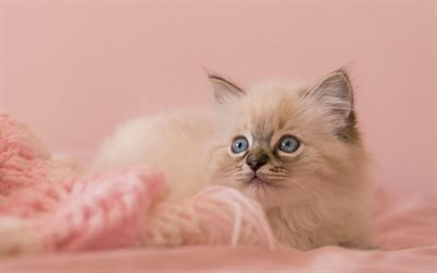 cats, ragdoll, close-up, kitten, blue eyes, cute animals