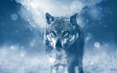 wolf, 4k, winter, predators, blue eyes