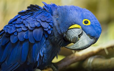 Hyacinth macaw, Blue macaw, beautiful blue bird, big parrots, macaw, South America