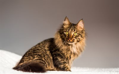 Maine Coon, fluffy gray cat, cute animals, pets, cats, big green eyes