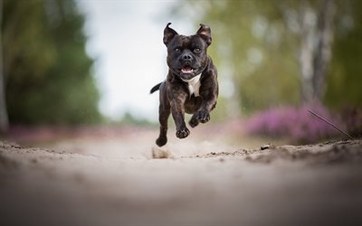 American Pit Bull Terrier, black puppy, small black pit bull, dogs, forest