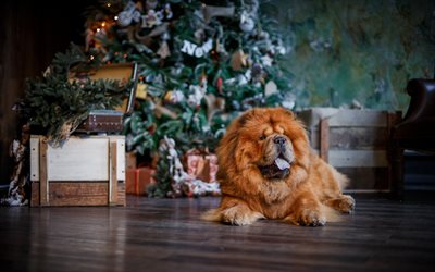 Chow chow, New Year, fluffy brown dog, pets, cute animals, dogs, chau chau