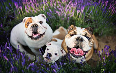 English Bulldog, family, close-up, pets, puppy, cute animals, bokeh, English Bulldog Dog