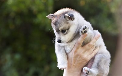 little husky, cute little puppy, small dogs, puppy in hands, husky, dogs
