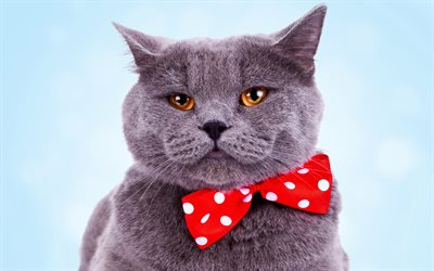 4k, British Shorthair, cat with red bow, cute animals, gray cat, pets, cats, domestic cat, British Shorthair Cat