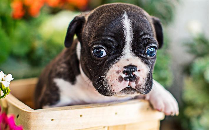 Scarica sfondi piccola francese bulldog cucciolo cani close up