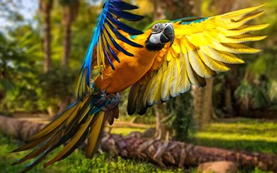 4k, Macaw, flying parrot, close-up, parrots, wildlife, colorful parrot, Ara