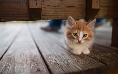 ginger fluffy kitten, cute look, small animal, pets, cats, kittens
