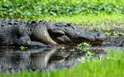 Alligator, 4k, wildlife, reptile, crocodile, lake, bokeh