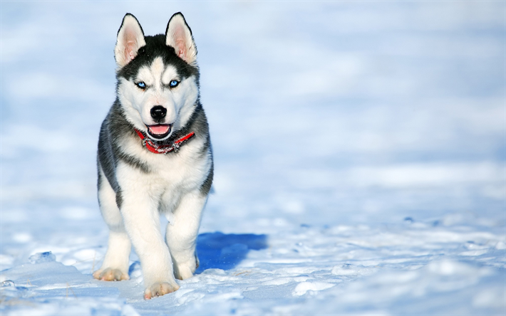 Perros Husky Siberiano Fondos De Pantalla Hd De Animales 2: Download Wallpapers 4k, Husky, Winter, Puppy, Dogs