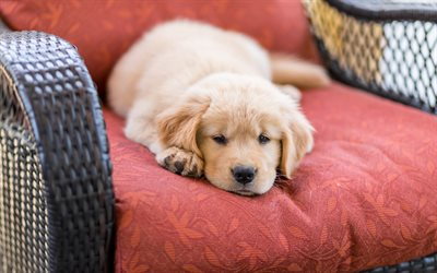 labrador, little cute puppy, retriever, little cute dog, pets, dogs, beige puppy