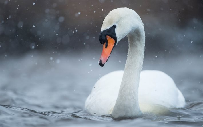 white swan, lake, beautiful white bird, swans, rain