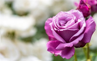 purple rose, background with roses, beautiful purple flower, roses, purple rose bud