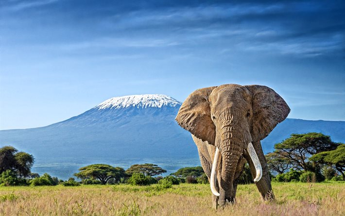 Kilimanjaro, elephants, Roof of Africa, savannah, Elephantidae, big elephants, stratovolcano, Africa, HDR