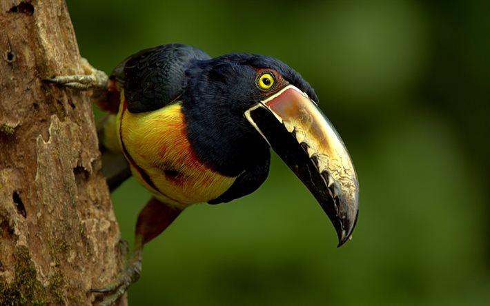 Telecharger Fonds D Ecran Aracari 4k Bokeh De La Faune Des Oiseaux Exotiques Des Oiseaux Colores Pteroglossus Pour Le Bureau Libre Photos De Bureau Libre