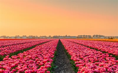 pink tulips, field with tulips, evening, sunset, wildflowers, tulips, Netherlands