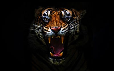 angry tiger, darkness, jaws, predators, fangs, black background, tiger, Panthera tigris