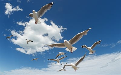 seagulls in the sky, white clouds, seagulls, birds in the sky, sea