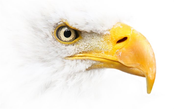 Bald eagle, white background, bird of prey, symbol of USA, North America, dangerous birds