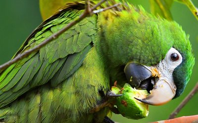 green macaw, large green parrot, rainforest, beautiful birds