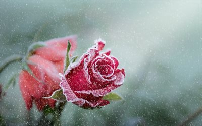 pink rose, frost, ice, roses