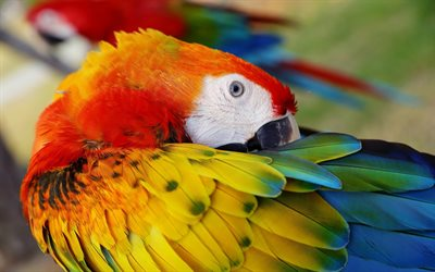 Scarlet macaw, red parrot, colorful macaw, beautiful birds, South American parrot