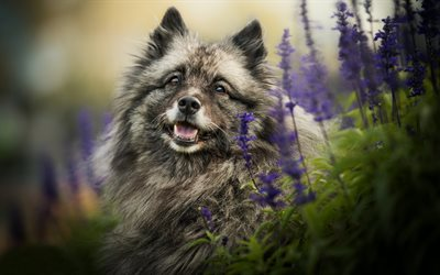 Wolfspitz, dog, field, European breed of dogs, Keeshond, lavender, pets