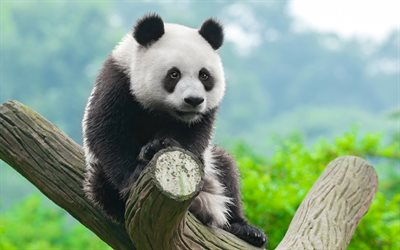 panda, cute bear, little panda, wildlife, panda on a tree