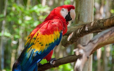 Scarlet macaw, red macaw, beautiful red parrot, beautiful birds, parrot, South America