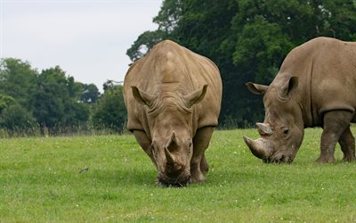 rhinos, wildlife, wild animals, green grass, big rhino, african animals
