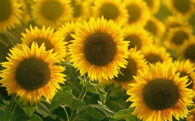 sunflowers, wildflowers, large sunflowers, yellow flowers, background with sunflowers