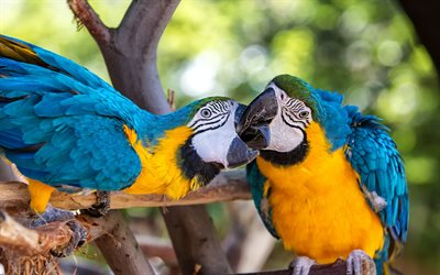 Blue-and-yellow macaw, beautiful parrots, tropical birds, parrots, blue-and-gold macaw