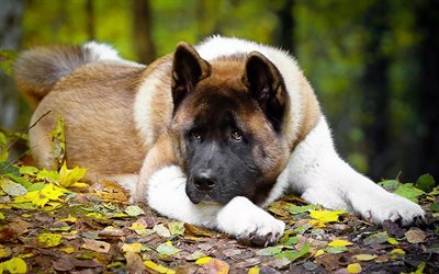 autumn, dog, American Akita, big dog