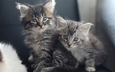 gray fluffy kittens, gray little cats, cute animals, kittens, pets, cats
