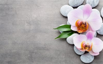 pink orchids, tropical flowers, stones, orchid
