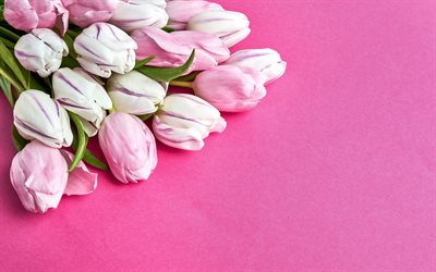 pink tulips, spring flowers, tulips on a pink background, beautiful flowers, tulips, spring